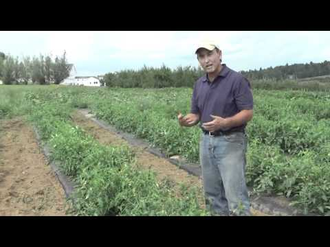 , title : 'How to Grow Tomatoes: Differences Between Bush and Vining