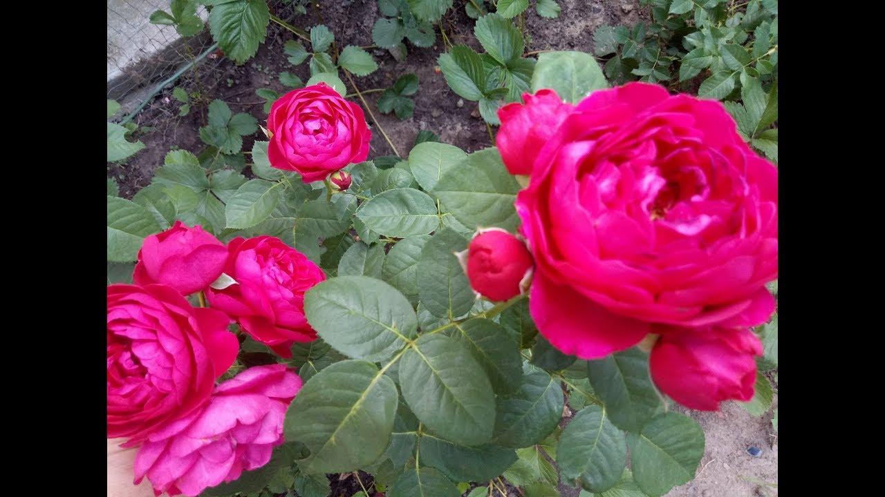 Роза АСКОТ любит полутень.