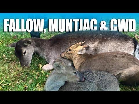 Hunting Muntjac, Chinese Water Deer & Fallow