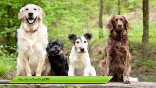 CBD Oil For Dogs With Joint Pain & Anxiety