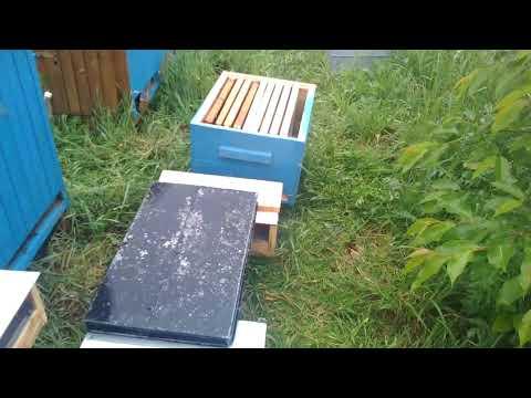 Co robie jak pszczoły chcą sie roć ?
