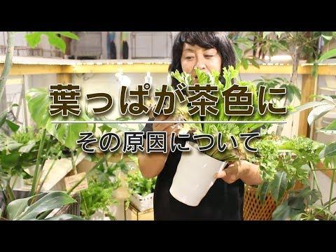 , title : '#55「葉っぱが茶色になる原因について」