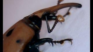 preview picture of video 'Picudo Rojo (Rhynchophorus ferrugineus) indestructible - Benissa - Costa Blanca'