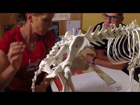 Anatomie eines Pferdes auf die Gelenke