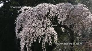 枝垂れ桜の動画素材・4K写真素材