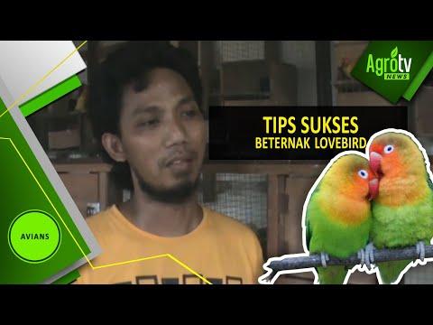 Video TIPS SUKSES BETERNAK LOVE BIRD