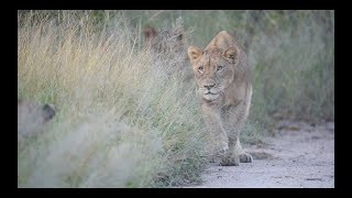 LION CUBS learn to HUNT through PLAY