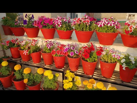 My Petunias || Fun Gardening