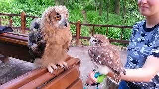 Baby eagle-owl Yoll and little owl Yuinya. Eagle owl tastes little owl.