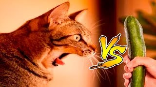 Кот vs Огурец нарезка №1