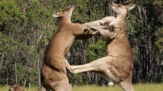 Filming The Kangaroo Boxing Fight | Wild Stories | BBC Earth