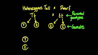 4.3.2 Determine The Genotypes And Phenotypes Of The Offspring Of A Monohybrid Cross
