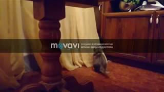 Шиншиллы против кота ))