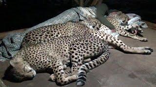Do Cheetahs Prefer Cold Hard Concrete Or Warm Blankets Pillow & A Friend? | Three BIG CAT Night