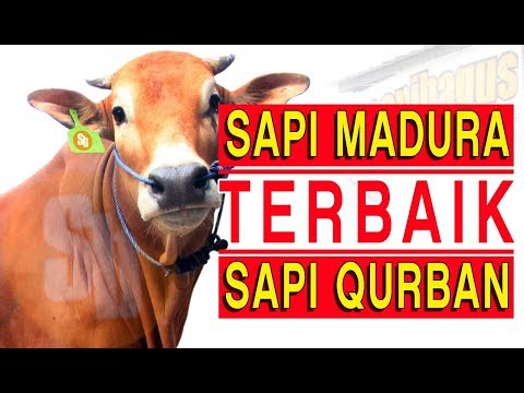 Jual Sapi Qurban Jakarta Jenis Sapi Madura 2018