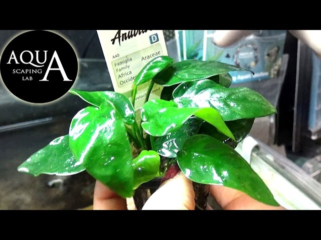 Aquascaping Lab - ANUBIAS Barteri Aquatic plant technical sheet, Bonsai, Nana / Descrizione