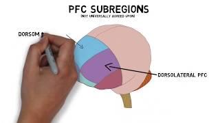 2-Minute Neuroscience: Prefrontal Cortex