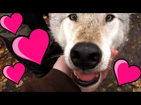 kissed by a wolf living in alaska 226
