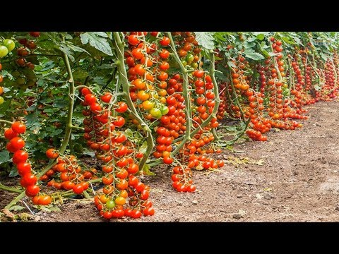 , title : 'Growing Tomatoes Greenhouse in Europe - Amazing Agriculture Technology
