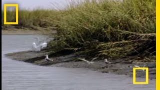 Bottlenose Hunt on Sandy Shore | National Geographic thumbnail