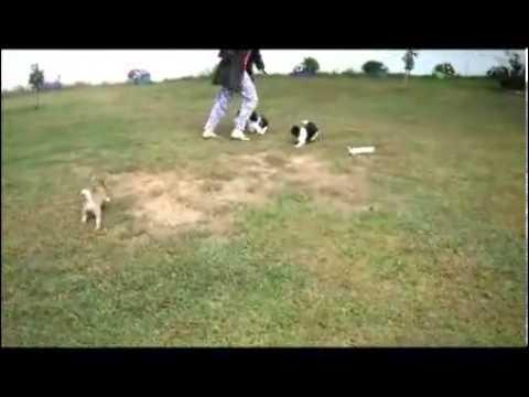 AKC Teddy Bear (See Video www.CompanionPups.com)