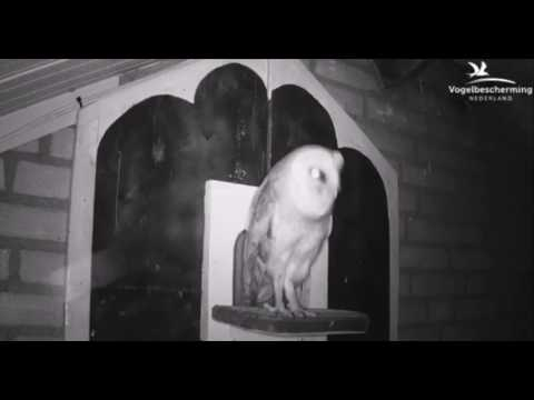 Stranger Owl, Male Defends Nest Box - 10.04.17