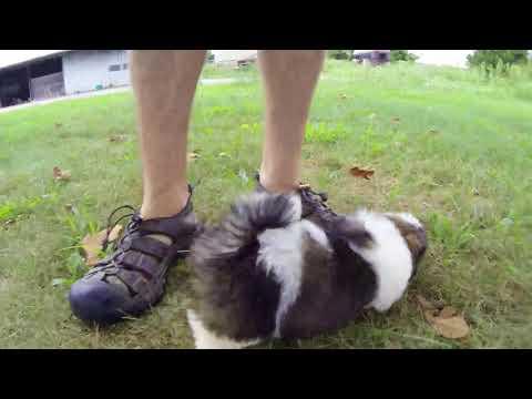 Sammy the Shichon puppy