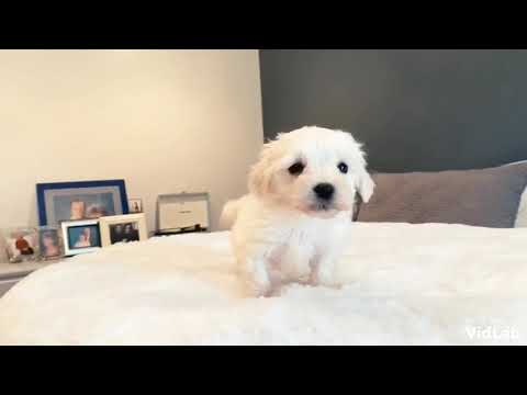 Bailey is a beautiful, intelligent toy MaltiPoo. Bailey has a beautiful, fluffy cotton coat