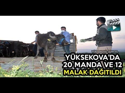 Yüksekova'da Manda Dağıtımı