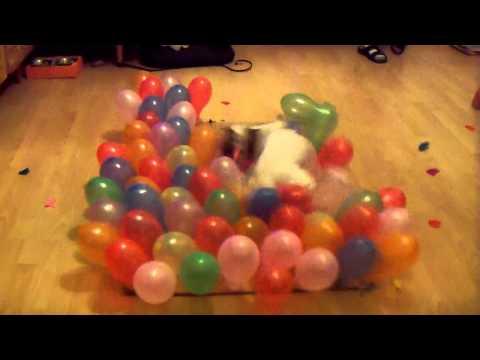 הכלבה שהצליחה לפוצץ 100 בלונים ב-24 שניות בלבד