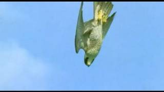 Pigeon vs Peregrine Falcon | Animals: The Inside Story | BBC