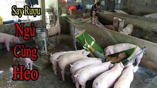 Choáng Với Màn Trả Thù Bá Đạo Của Mao Đệ - Cho Mao Ca Ngủ Với Lợn Vì Tội Nát Rượu