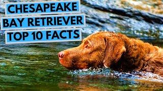 Chesapeake Bay Retriever - TOP 10 Interesting Facts