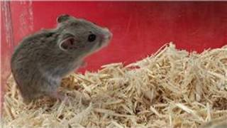 Exotic Pets : How to Care for Chinese Dwarf Hamsters