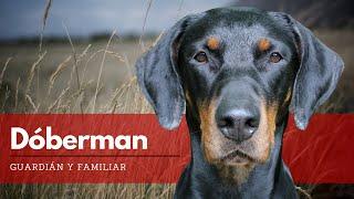 Dóberman - Todo Lo Que Debes Saber