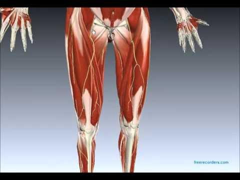 La croissance de la charge sur les muscles