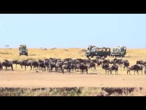 Download James at the Maasai Mara Triangle, Kenya. Wildebeest river crossing and crocodile attack HD Mp4 3GP Video and MP3