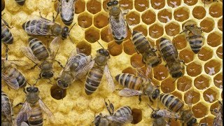 Queen Bee laying eggs!!! (complete video)