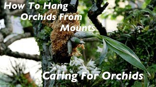 Growing Orchids - Hanging Orchids On Mounts
