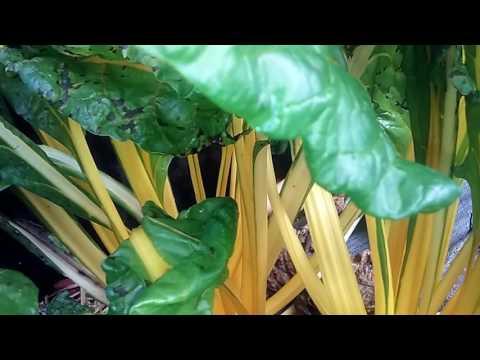 Leaf lila Diabetes