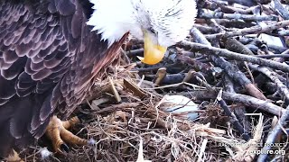 Decorah Iowa~ Decorah Mom is laying her first egg~5:50 PM 2020/02/26
