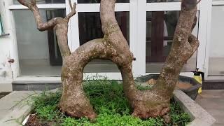 Bật Tiền Bối Sở Hữu Vườn Mai Bonsai.Toàn đầm đế Khủng
