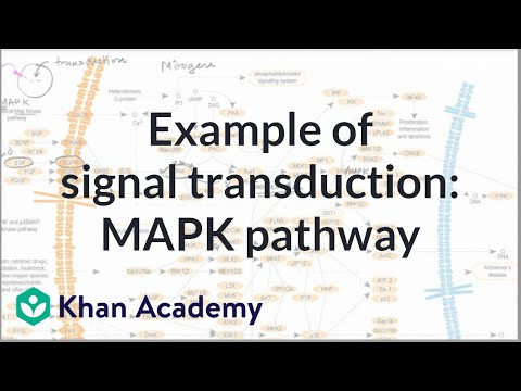 Example of a signal transduction pathway (video) | Khan Academy on phosphatidylinositol 3-kinase pathway, insulin pathway, jak 1 2 3 signaling pathway, pi 3-kinase pathway, adenylate cyclase pathway, il-6 signaling pathway, thyroid pathway,