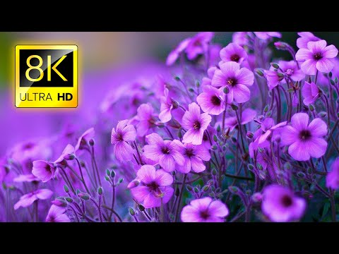 , title : 'The Most Beautiful Flowers Collection 8K ULTRA HD / 8K TV
