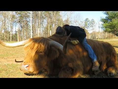 This Adorable Highland Bull Loves Some Cowboy Snuggles
