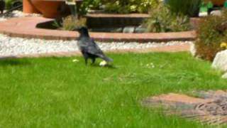 Clever Crow with 5 slices of cheese