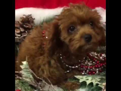 Cute Sweet Cavapoo Puppy