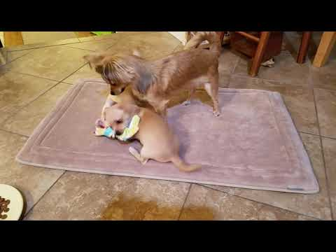 Princess- applications accepted but not adoptable until her boo boo heals, an adoptable Chihuahua Mix in Portland, OR