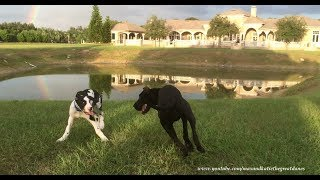 Playful Great Dane and Puppy Love to Play Roll Over and Over