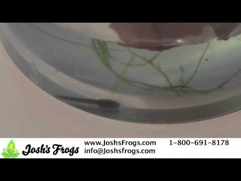 Dart Frog Tadpole Care Video